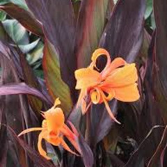 Canna intrigue