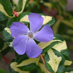 Vinca major wojos gem