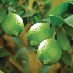 Bearss lime tree