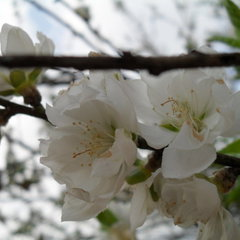 Prunus persica reliance