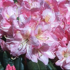 Rhododendron scintallation